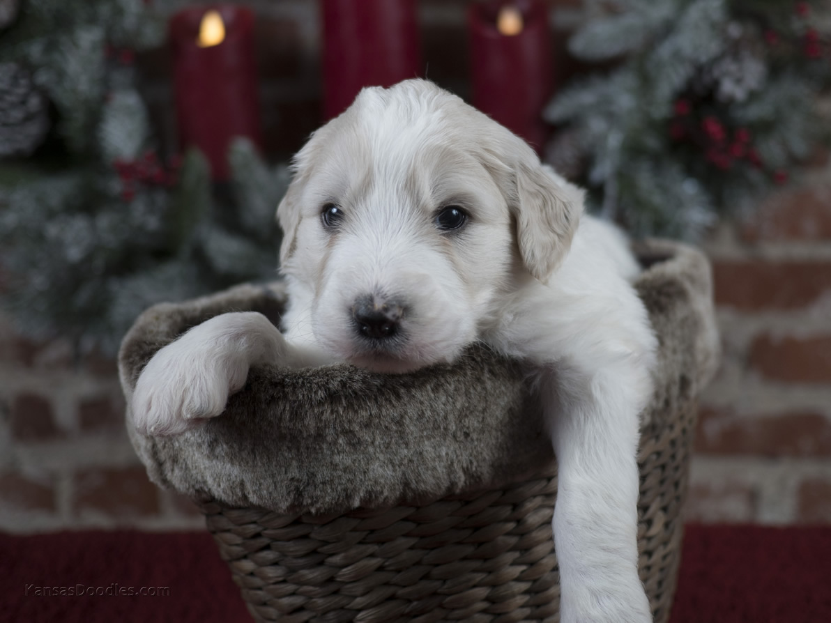 White and brown puppy in a basket
